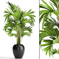 howea forsteriana palm 3D model