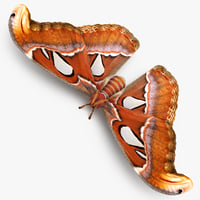 attacus atlas large saturniid 3D model