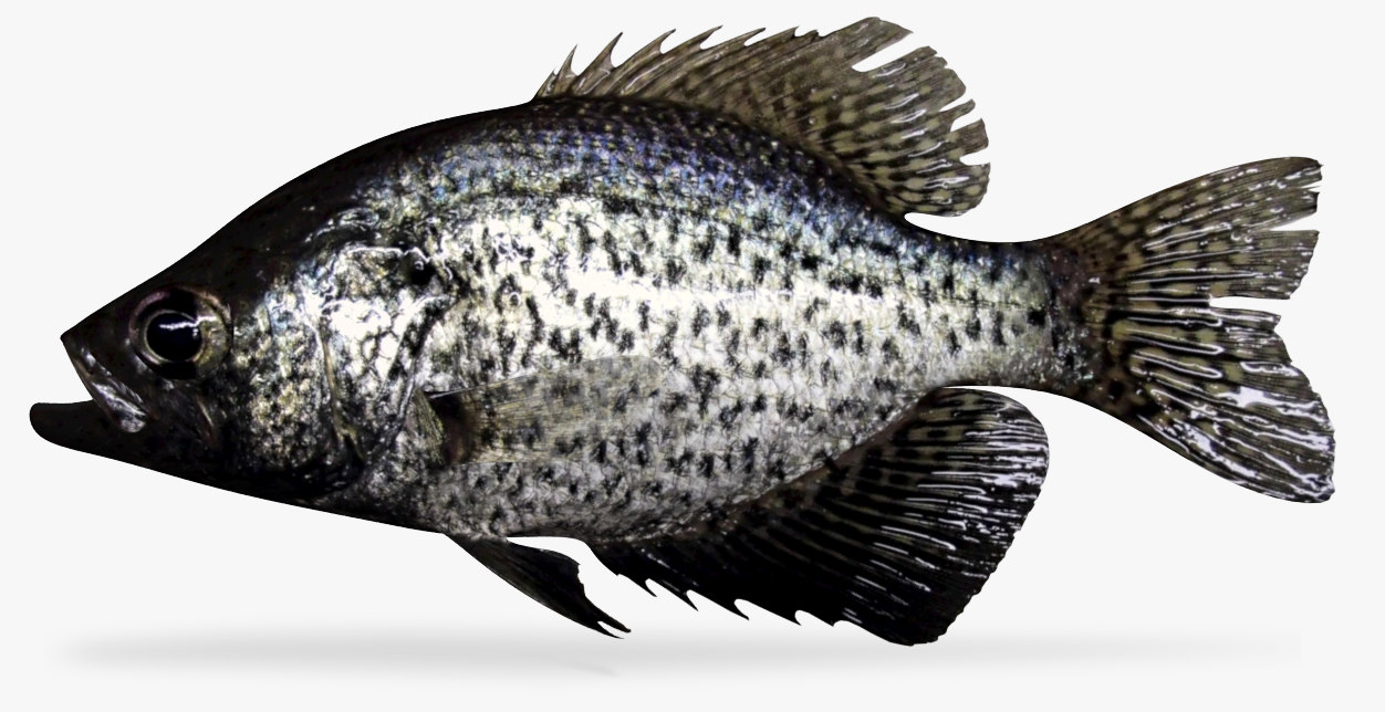 3D black crappie model