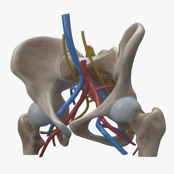 human anatomy female pelvis femur 3D model