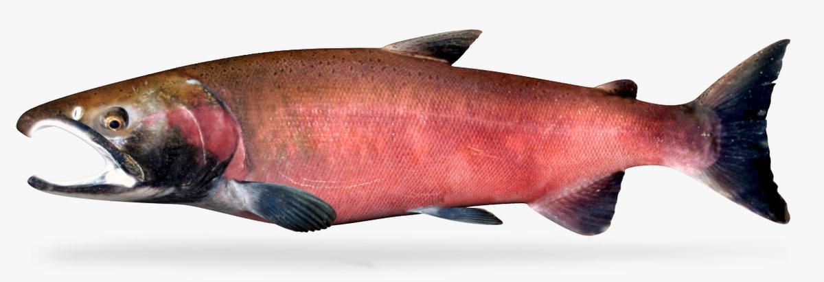 coho salmon model
