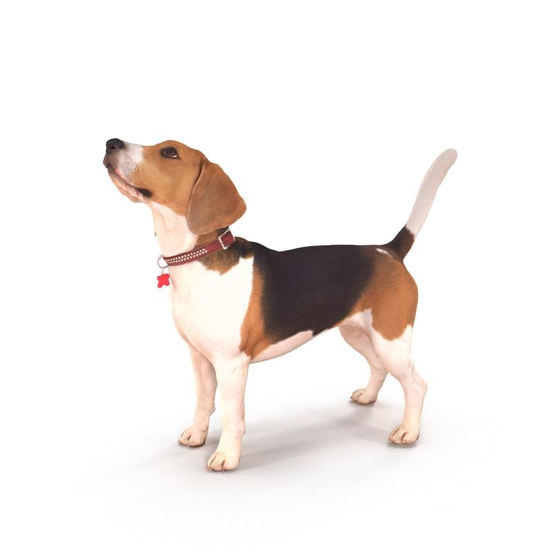 3D beagle standing model