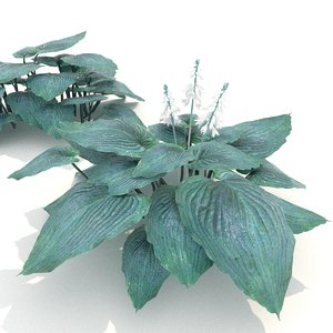 hosta blue angel 3D model