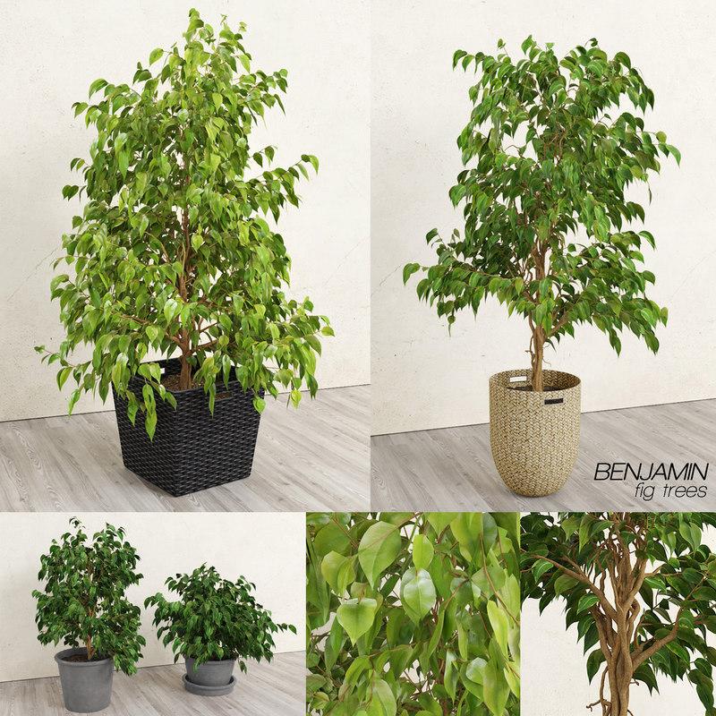 benjamin fig trees plants 3D model