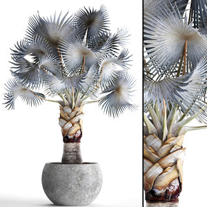 3D bismarckia nobilis