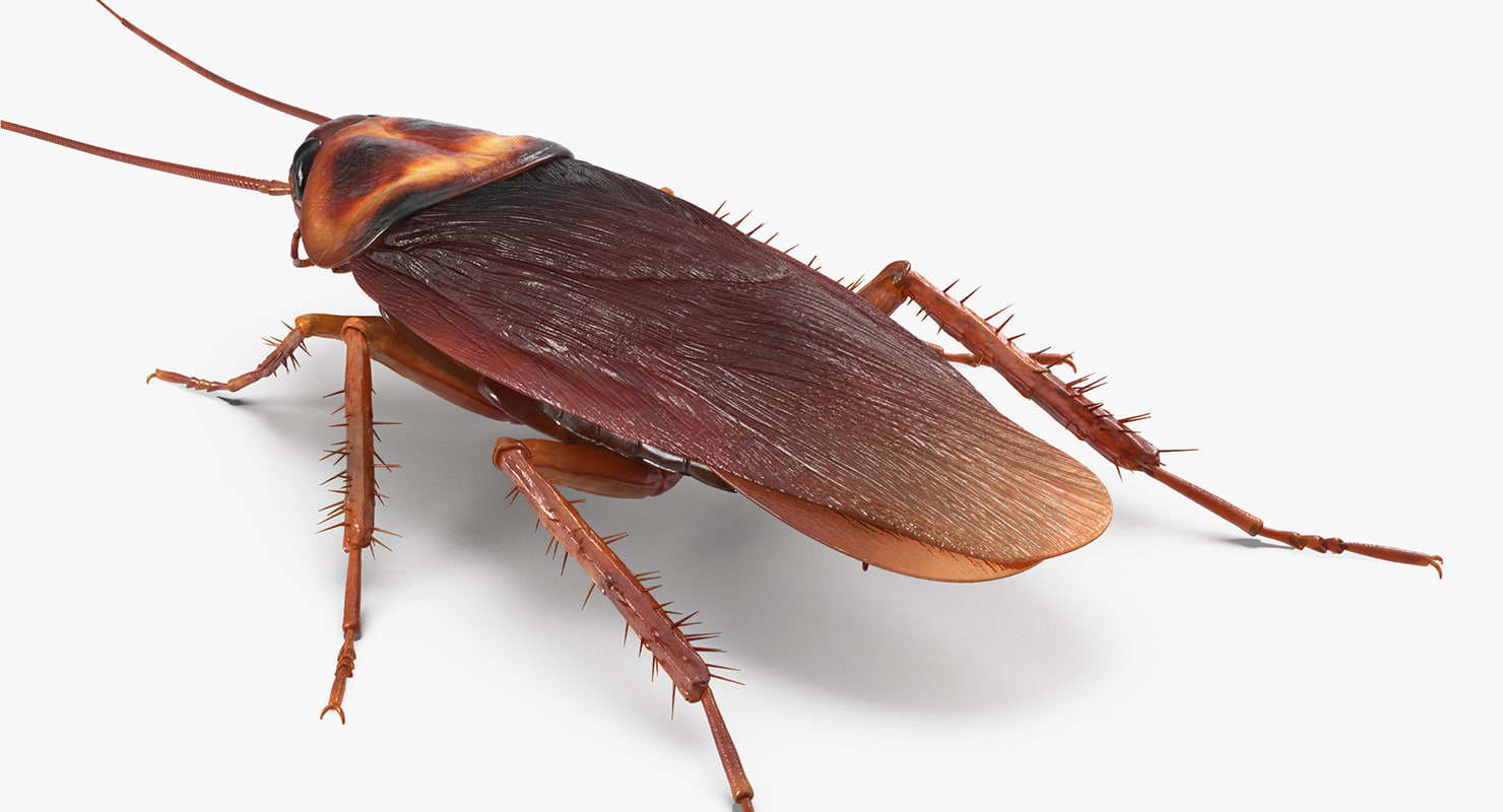 3D common household cockroach