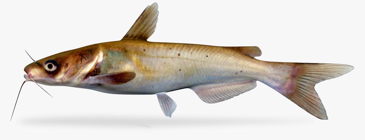 channel catfish 3D model