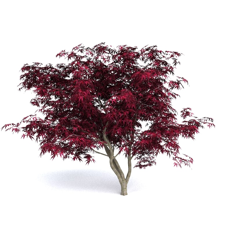 red japanese maple 3D