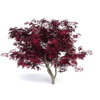 Red Japanese Maple