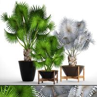 palms bismarckia nobilis 3D model