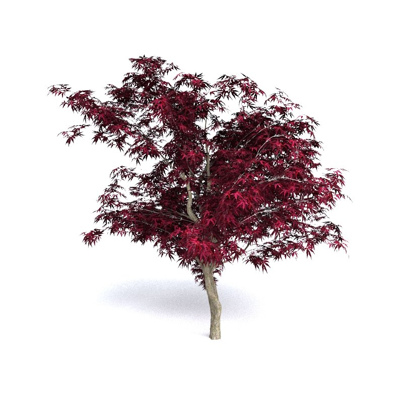 3D model red japanese maple