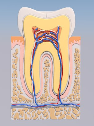 tooth cross section 3D model
