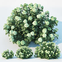 Hydrangea arborescens, 3 sizes