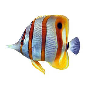 butterflyfish model