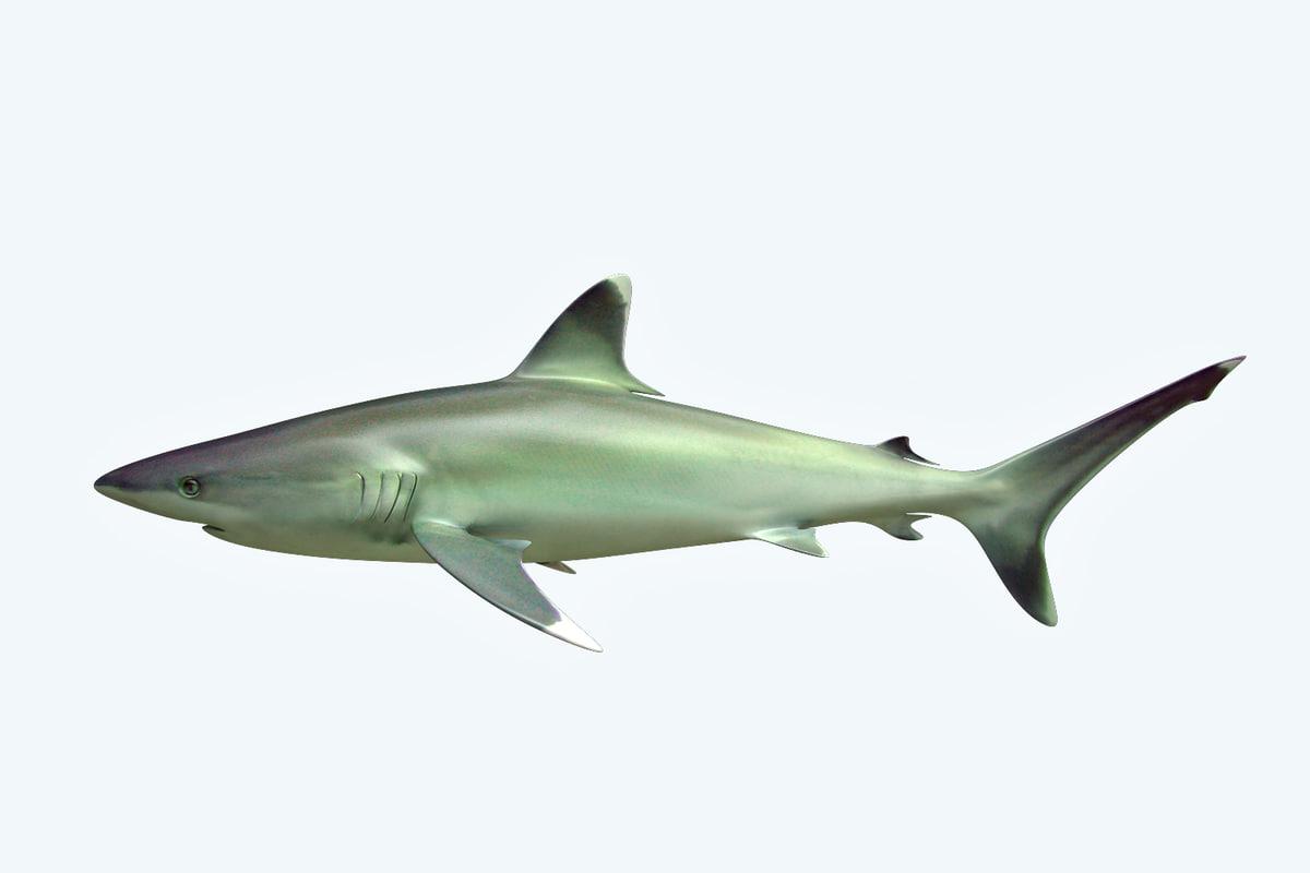 3D model shark reef