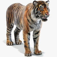 sumatran tiger fur model