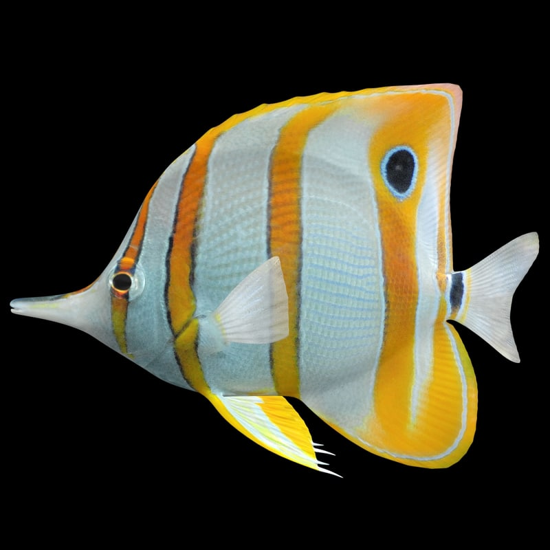 3D model copperband butterflyfish