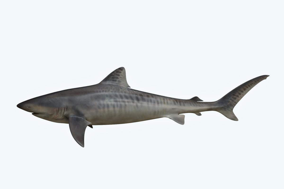 shark animal tiger model