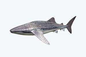 whale shark 3D