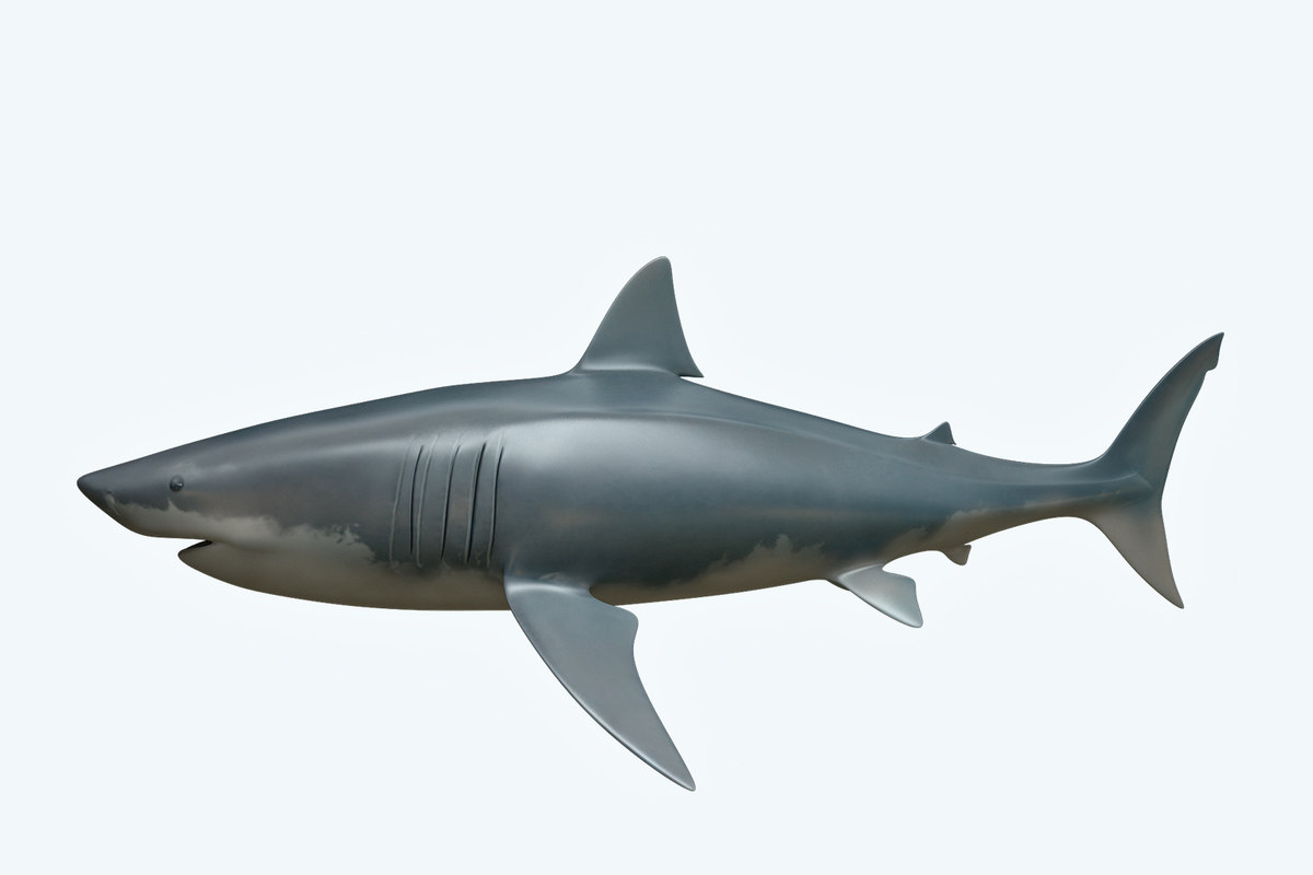 shark great white 3D model