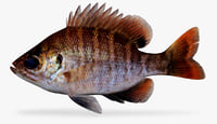 3D florida bluegill