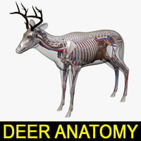 deer anatomy 3D