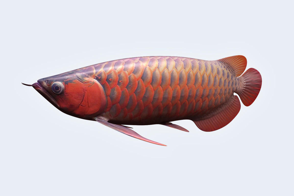 arowana animal super 3D model