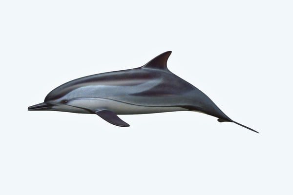 3D dolphin animal saltwater model