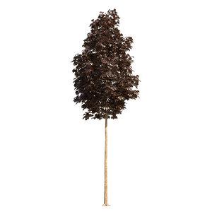3D crimson king maple tree