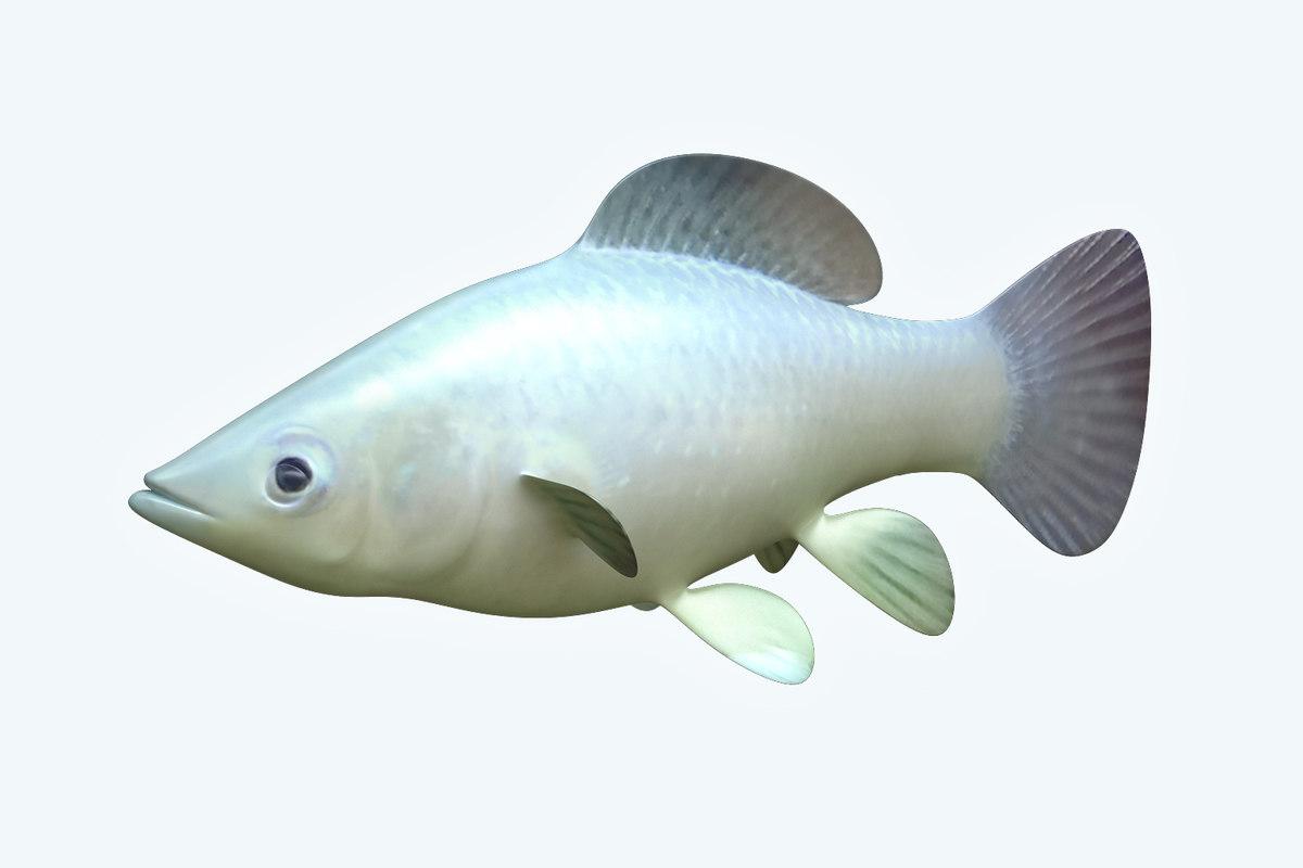 molly fish animal 3D model