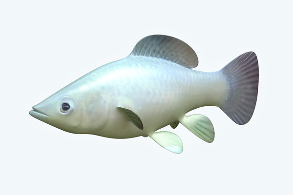 molly fish animal 3D model