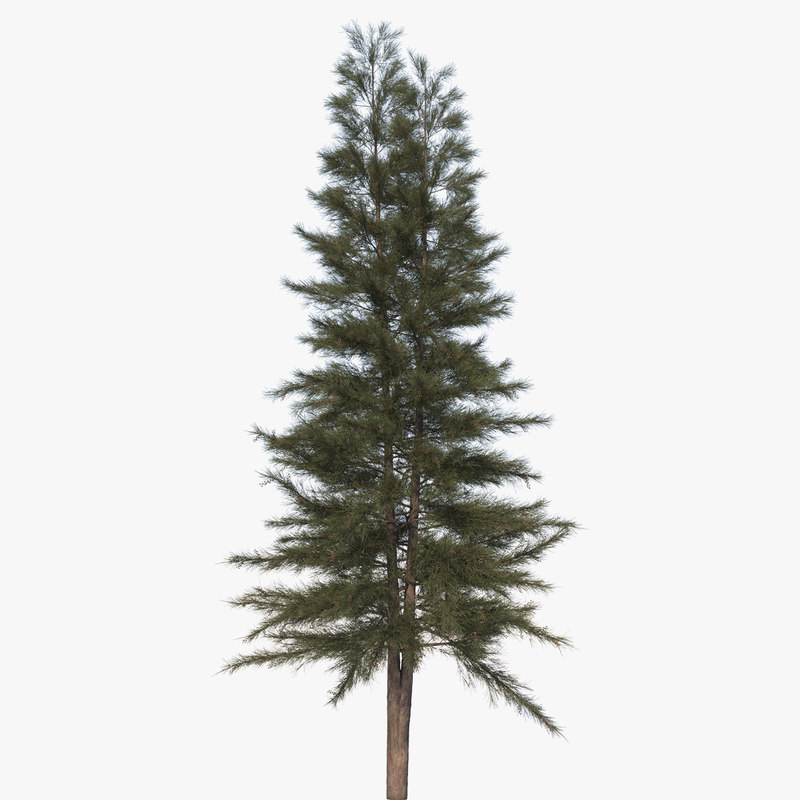 3D casuarina australian pine tree model