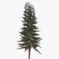 3D casuarina australian pine tree model