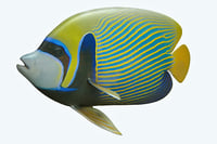 emperor angle fish 3D