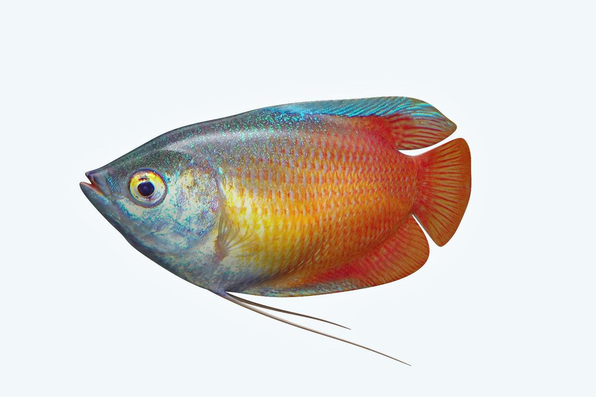 gurame fish 3D model