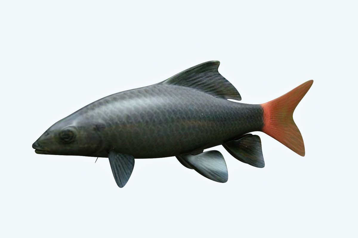 red tailed fish 3D model