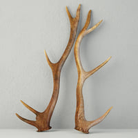 3D natural shed deer antlers