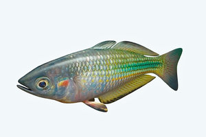 3D rainbow fish