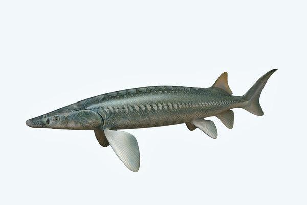 sturgeon fish 3D
