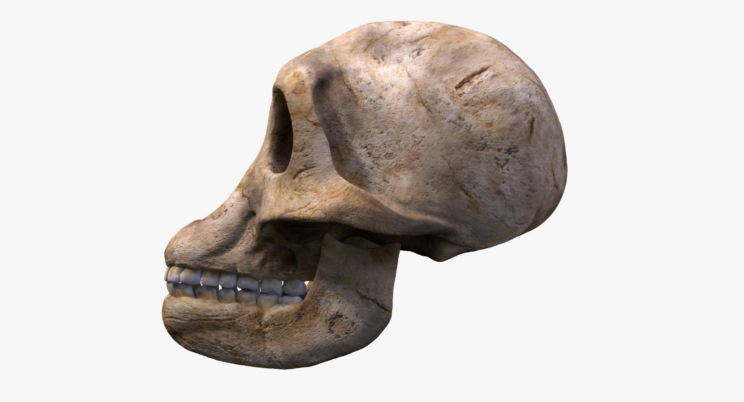 australophitecus skull model