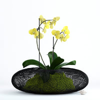 3D realistic phalaenopsis orchid grid