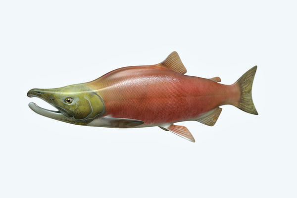 3D salmon fish model