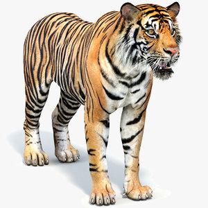 3D sumatran tiger