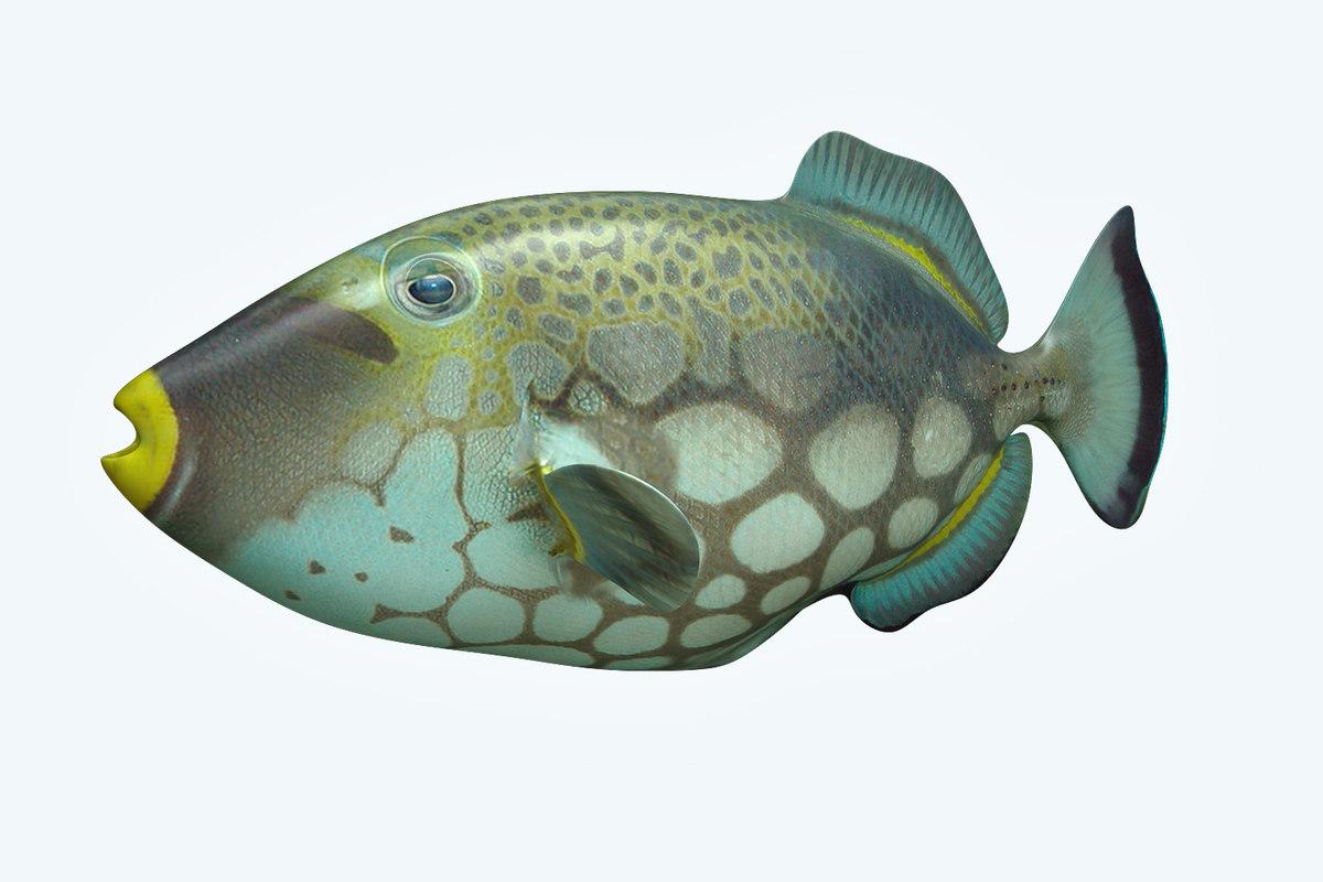 3D trigerfish fish