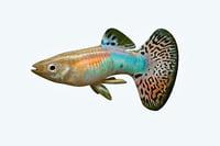 guppy fish 3D model