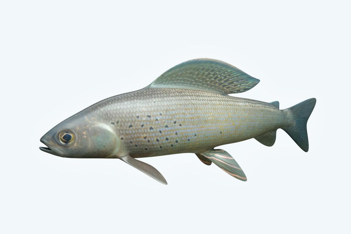 grayling fish 3D
