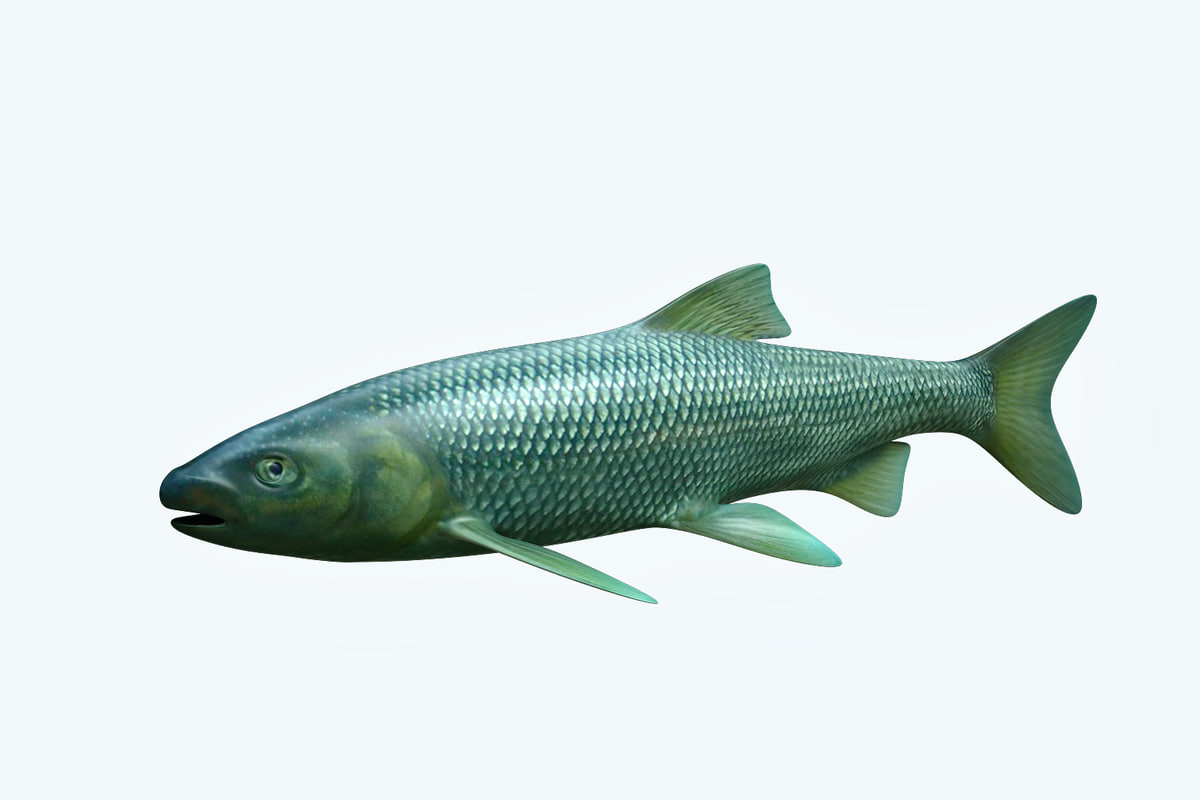 3D model troutfish fish