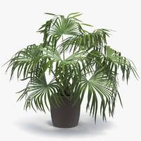 3D chinese fan palm