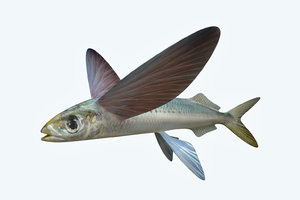 atlantic flying fish 3D