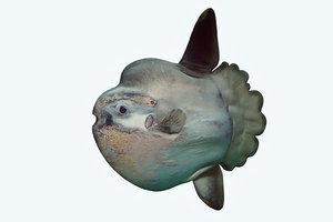 3D model sunfish 2 fish